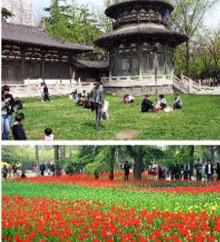 兴庆公园郁金香
