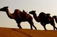 大漠风情・驼铃阵阵