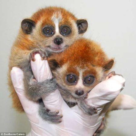 世界濒危动物宝宝照片秀 蜂猴幼崽