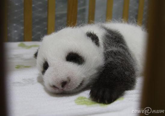 中国梦女王emiko有只垫脚的猪:陕陕或者西西   埃里客:大熊猫宝宝的
