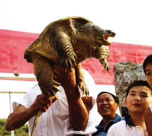 渔民湖泊捞起33斤怪龟