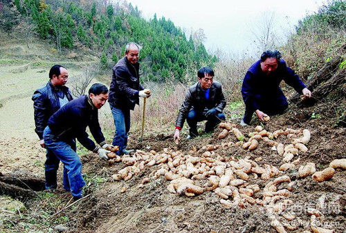 宁强燕子砭镇种天麻3980亩
