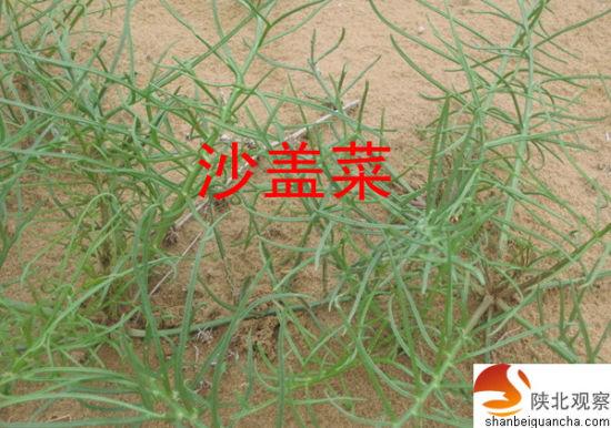 陕北野生木瓜树图片