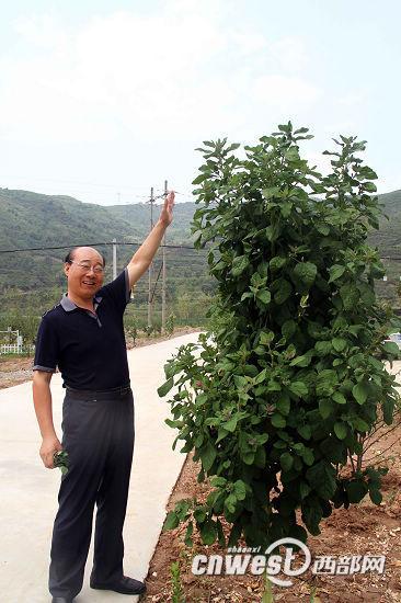 身高1.8米的西北农林科技大学魏安智教授说,这灰灰菜是自然生长的。