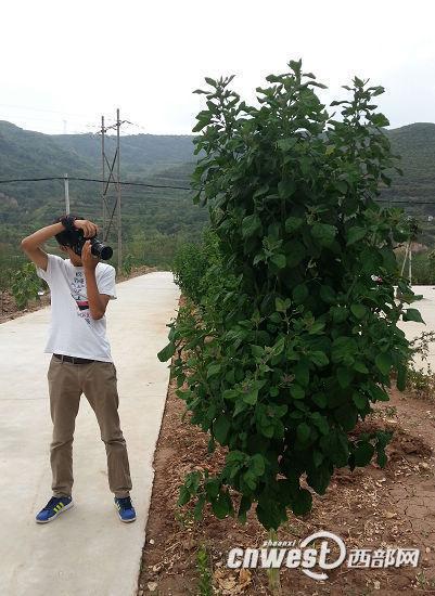 这2.5米高的野生灰灰菜因实属罕见。