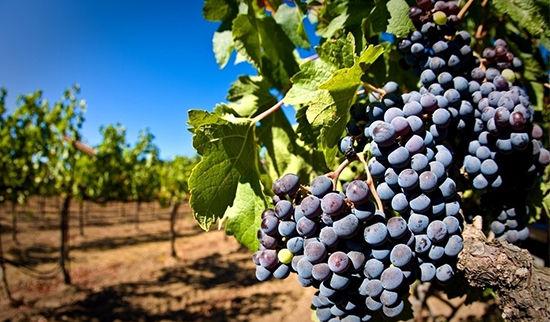 诱人的葡萄