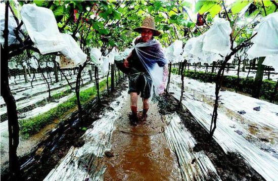 昨日下午,在户县草堂镇下草村,果农胡顺利冒雨在泥泞的葡萄园中摘葡萄。