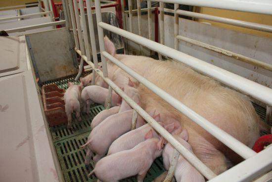 现代化养猪场