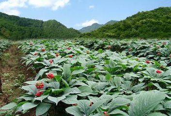 中农产品进京之留坝西洋参 新浪汉中