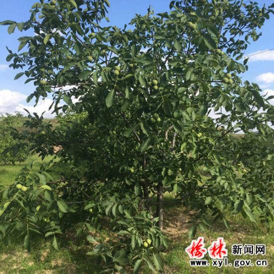 靖边五里湾硕果累累的核桃树
