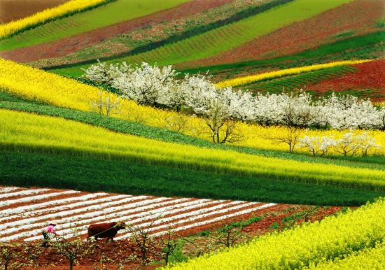 洋县油菜花盛放