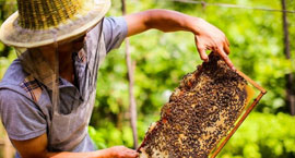 揭秘土蜂蜜采割过程