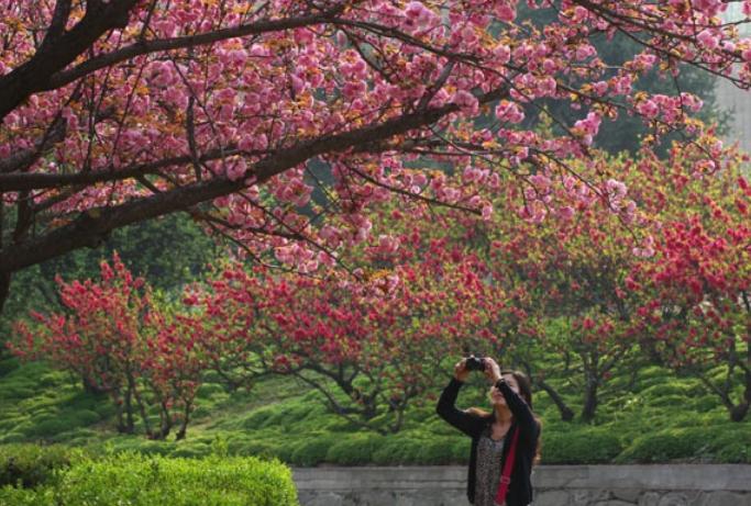 西安交大樱花盛开