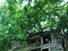 百年老树穿楼过