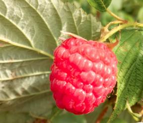 """全国知名专家""""把脉""""榆林树莓产业发展"""