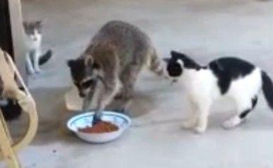 小浣熊偷猫粮搞笑一幕 直着身子逃跑