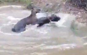 实拍德国獒犬与袋鼠打架 头被强按水中