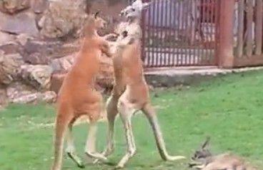 两只袋鼠疯狂对打 拳打脚踢不分胜负