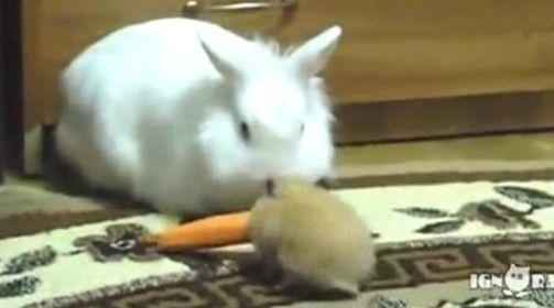 实拍超萌小仓鼠当面抢走大白兔胡萝卜