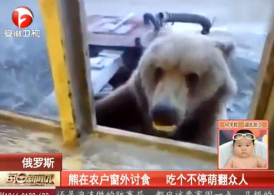 实拍狗熊探进窗户讨食 俄农户淡定投喂
