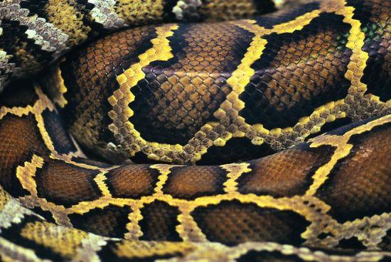 女子不知沙发内盘踞蟒蛇 捡回家坐2个月